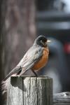 IMG_1943 adult robin
