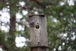 IMG_4391 male bluebird feeding nestling